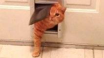 Fat Cat - A Funny Fat Cats vs Doors Compilation __ NEW HD