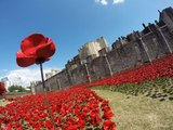 (#3/5) How to Grow Poppies in 5 Stages from Poppy Seed Pod to Flowers