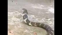 King Cobra Snake in Wayanad Kerala India - King Cobra Snake Vs Snake Expert