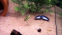 Un petit poisson d'Asie suit un laser dans un aquarium