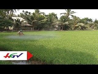 Biện pháp canh tác lúa trên nền đất mặn tại Hậu Giang   HGTV
