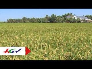 Hiệu quả từ mô hình trồng lúa cải tiến SRI   HGTV