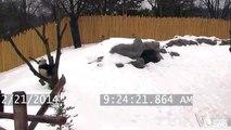 Toronto Zoo Giant Panda Da Mao Plays in the Snow