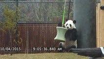 Toronto Zoo Giant Panda Da Mao Plays With Enrichment Toy