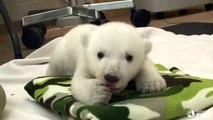 Toronto Zoo Polar Bear Cub - My Paws Are Growing