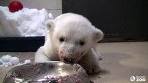 Toronto Zoo Polar Bear Cub  'Super Bowl'