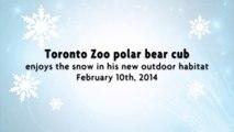 Toronto Zoo Polar Bear Cub Enjoys the Snow in his new Outdoor Habitat