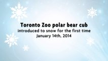 Toronto Zoo Polar Bear Cub Introduced to Snow for the First Time(1)