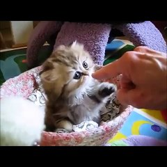 Sweetheart kittie giving five - want to have one at home!
