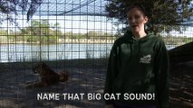Name That Big Cat Sound