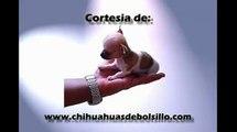 Precious Micro Pocket Teacup Chihuahua Male Puppy Venta de Chihuahua de Bolsillo