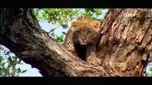 Lion vs Leopard vs Crocodile / National Geographic Documentary / BBC Documentary / Animal Attack