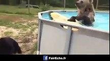 Un ours adore sauter dans une piscine, à voir !
