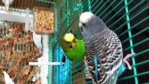 breeding -budgie place & bidgies mating call - Vídeo Dailymotion