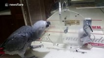 Clever parrot uses beak to unlock complex series of locks