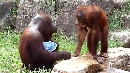 An orangutan freshens up like a human