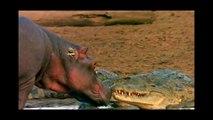 Crocodilo do Nilo mortal, crocodilo atacando