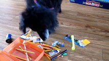 Dog has 50 seconds to fill a pencil box ♥ Chien ramasseur à la rescousse!  [Chico, dog trick]