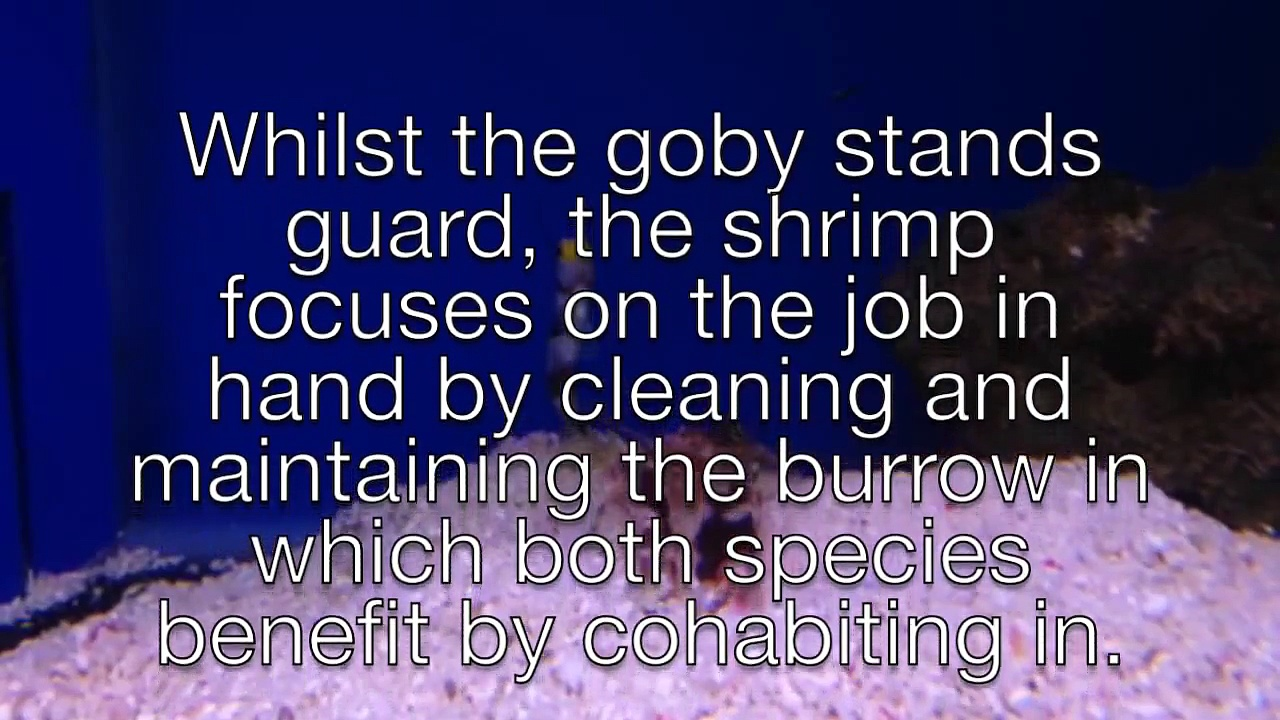 Mutualistic Shrimp-Goby Pairing