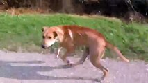 Epic dog chase caught on camera! Fast Canine Chases Dad