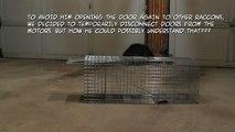 Raccoon avoids trap & escapes thru closed doors!