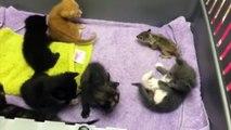 Un bébé écureuil orphelin est déposé parmi des chatons, ce que la maman chat fait est trop mignon !