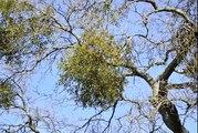 1.1 Mistletoe (1.1 of 7 in Plants Twin Peaks)