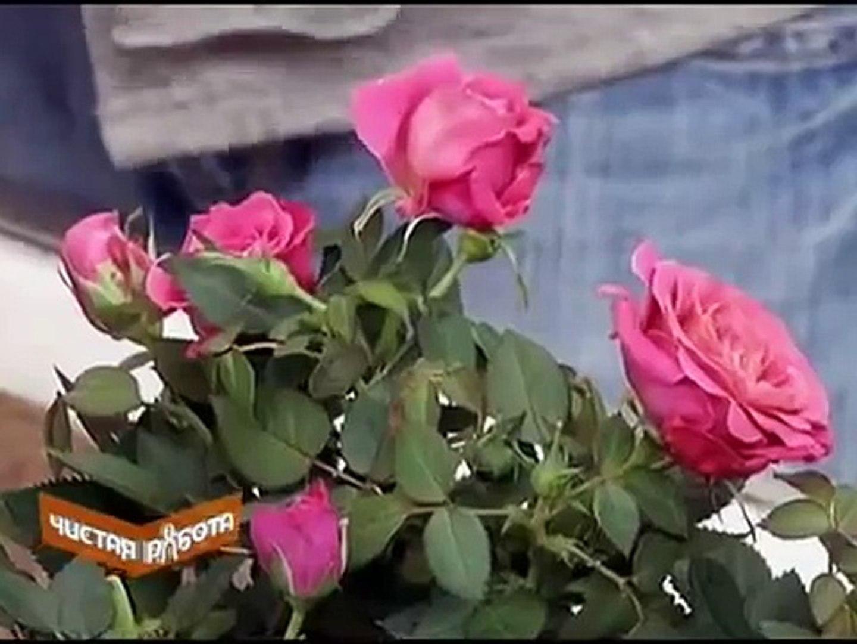 Комнатные розы. Как ухаживать