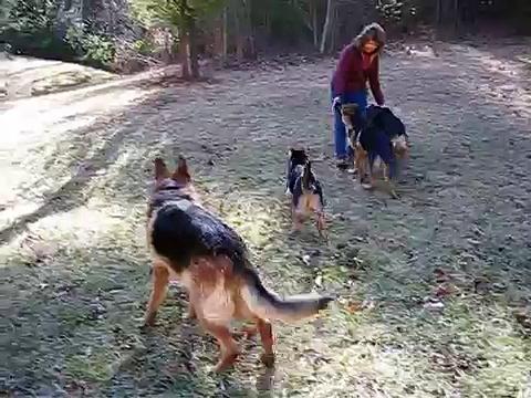 German Shepherd's @ Play