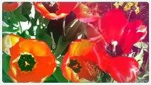 Visiting Keukenhof- most beautiful tulips garden in Holland