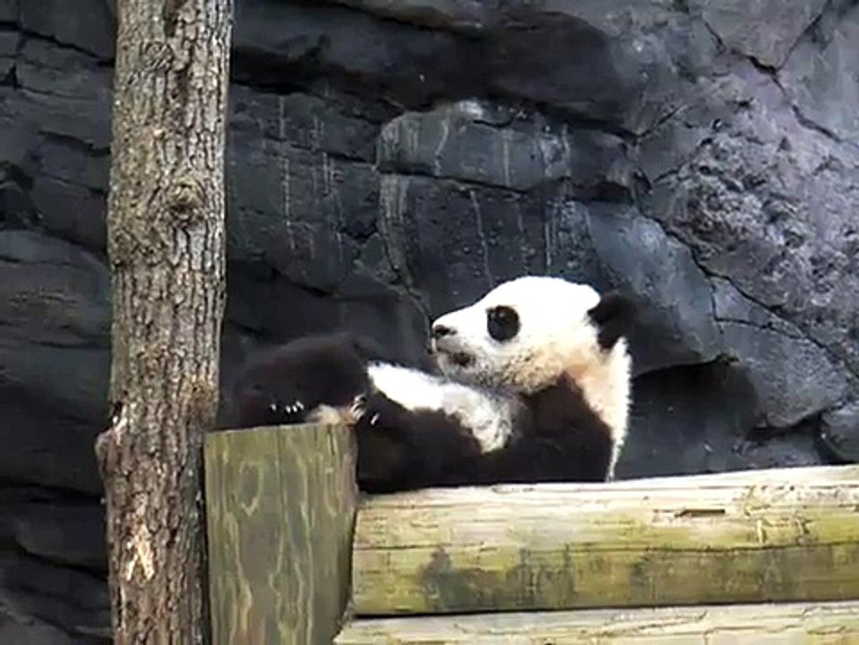 Cute panda Funny Animal Videos