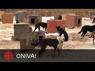 ONdécouvre - David Hochman, course de chiens attelés