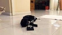 Cat Enjoys Chicken Birthday Cake - video dailymotion