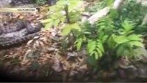 Огромный питон целиком проглотил кенгуру в Австралии