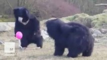 Curious and confused bears play with a pink balloon