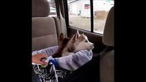 Husky Puppies for Sale in Madison WI