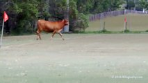 Cow invades a football pitch in Australia & charges at kids