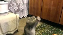 Russian cat dances while his human sings-funniest cat videos