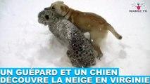 Un guépard et un chien découvre la neige en Virginie ! Les images dans la minute chien #157