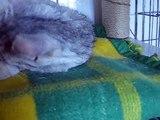Luna - srebrzysta kocia księżniczka ze Schroniska dla Bezdomnych Zwierząt w Kaliszu