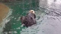 Une loutre prend sa doucge sous la pluie comme une grande dans son Aquarium!