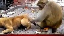 Un singe s'amuse à embêter un chiot juqu'a le mettre en rage