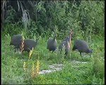 African Safaris - African Wild Cat and Guinea-fowl