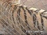 tigre prout lol