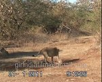 First and rare video from gir forest : Eight lions attack on a pangolin and how alive surv