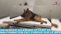 Un berger allemand atteint de malformation fait fureur sur le web ! Tout de suite dans la minute chien #159