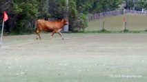 Cow invades football pitch in Australia