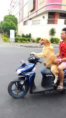 Dog rides Moped Scooter wearing sunglasses down busy street!