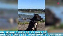 Un jeune chien de 15 mois se balade dans les transports parisiens ! Plus d'infos dans la minute chien #161