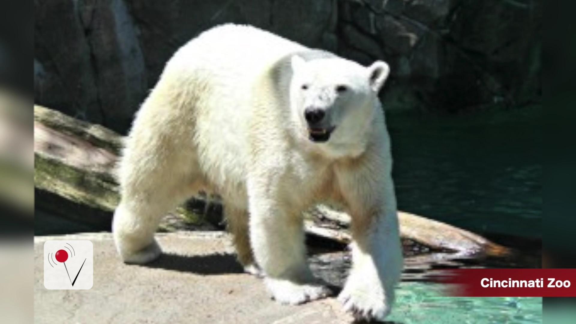 Polar Bear Escapes at the Cincinnati Zoo
